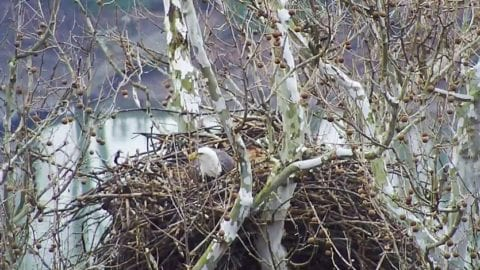 Bald Eagle Webcams at Harmar, Hays Now Streaming Live