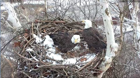 Pittsburgh Bald Eagle Webcams at Harmar, Hays Now Streaming Live
